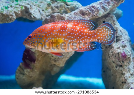 Cephalopholis miniata - Coral hind - saltwater fish - stock photo