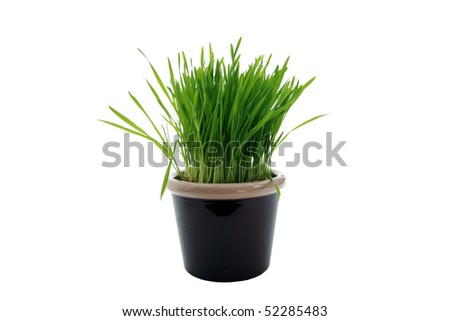 ceramic pot with wheat grass isolated on white