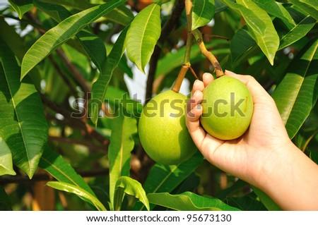 Cerbera oddloam fruit on hand - stock photo
