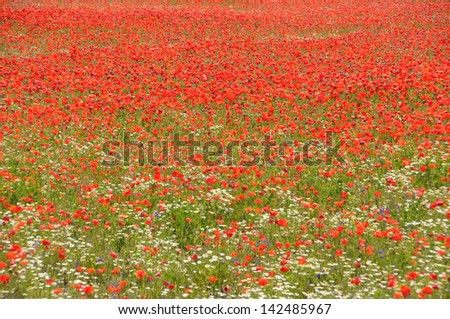 Cereal and poppies meadow