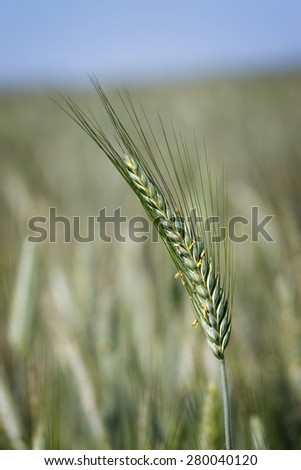 Cereal field with corn in the ear in the summer light - stock photo