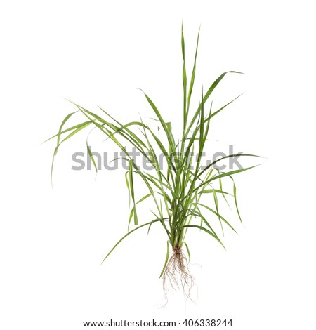 Cereal plant with root system isolated on white background - stock photo