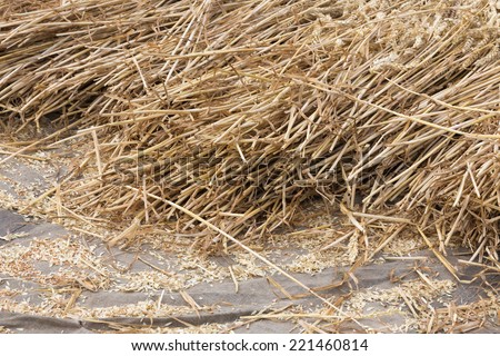 Cereals at a Dutch threshing floor - stock photo