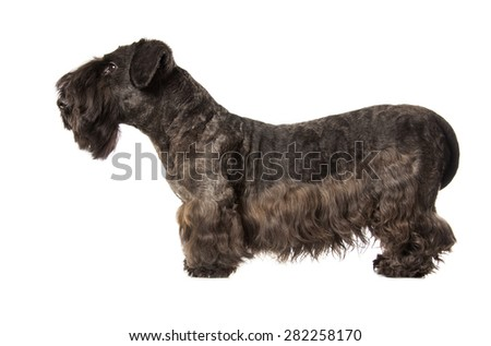 Cesky Terrier black dog isolatad over white background - stock photo