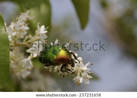Cetonia aurata, Rose Chafer on a bush in France, Europe - stock photo
