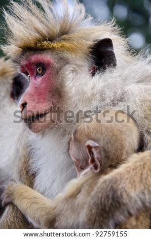 Ceylon  macaque or macaque Bonnet in nature - stock photo