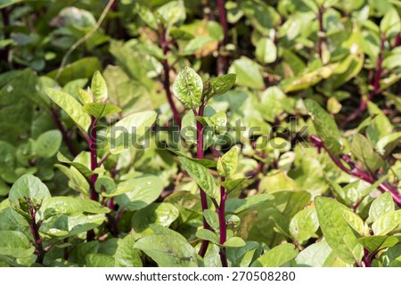 basella rubra linn fruit extract Some anatomical features of basella linn:  effects of aqueous extract of basella alba leaves on  and d from the fresh aerial parts of basella rubra l.