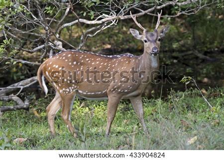 Ceylon Spotted Deer (Axis axis). AKA Sri Lankan axis deer. Wilpattu National Park, Sri Lanka - stock photo