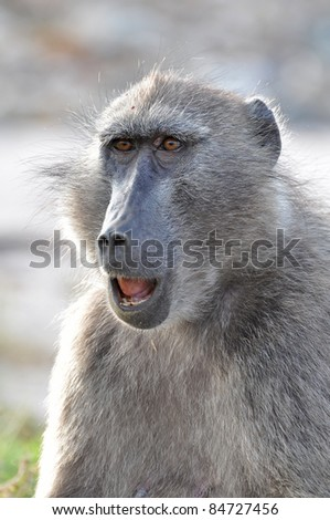 chacma baboon - stock photo