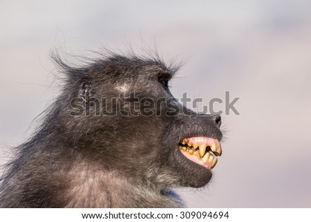 Chacma baboon making a fear grimace as signal of submission