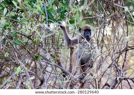 Chacma Baboon (Papio anubis), Nambwa National Park in Namibia - stock photo