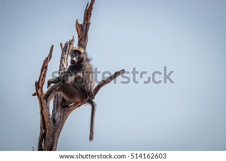 Chacma baboon sitting on a tree in the Kruger National Park, South Africa.