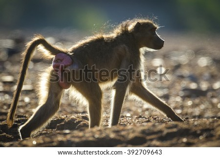 Chacma baboon with big abscess walking at sunset, Kruger National Park, South Africa