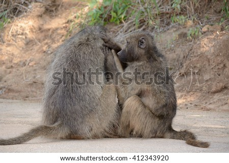 Chacma baboons grooming each other in a bonding ritual that determines troop hierarchy - stock photo