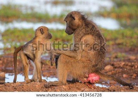 Chacma baboons grooming while in dry riverbed - stock photo