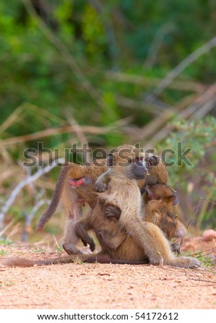 Chacma baboons (Papio cynocephalus) on the road in South Africa - stock photo