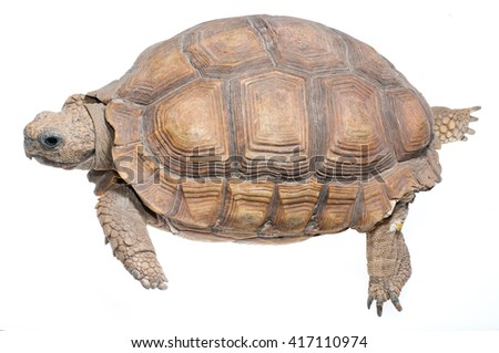 Chaco tortoise (Chelonoidis petersi). Patagonia, Argentina, South America - stock photo