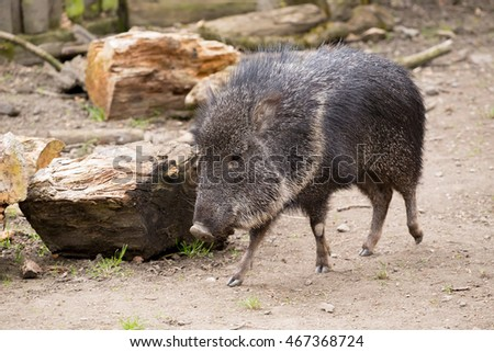 Chacoan peccary (Catagonus wagneri), also known as the tagua. It can be found in the Gran Chaco of Paraguay, Bolivia, and Argentina