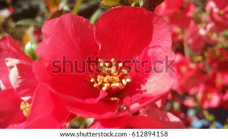 Chaenomeles japonica macro red flower in spring