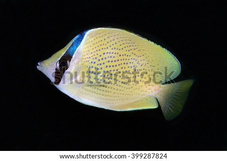 Chaetodon citrinellus is a species of butterflyfish. It is commonly known as the Speckled Butterflyfish or Citron Butterflyfish. - stock photo