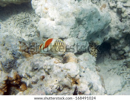 Chaetodon paucifasciatus. Red Sea Eritrean Butterflyfish. Eritrean; Butterflyfish; Underwater life of Red sea in Egypt. Saltwater fishes and coral colony reef. Sunlight in deep blue water - stock photo