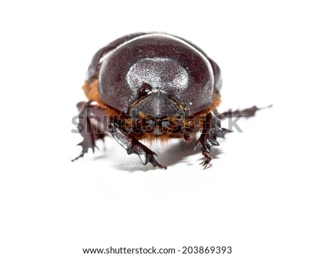 Chafer isolated on white background