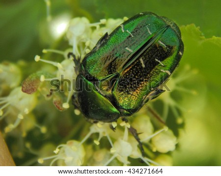 Chafer smooth close-ups. Insect Red Book - stock photo