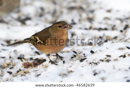 Chaffinch. Beautiful garden bird in Europe, incl. Denmark.snow and cold weather - stock photo