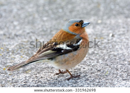 Chaffinch bird, Fringílla coélebs, songbird of the family of finches, a migratory bird in the city, distributed in Europe, Western Asia and North Africa; settles in the East, wild nature.