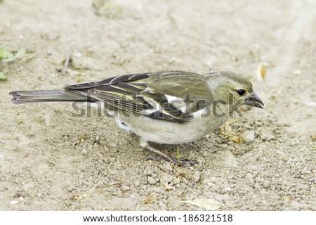 chaffinch female in natural habitat / Fringilla coelebs  - stock photo