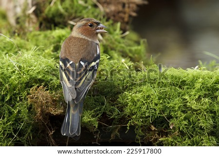 Chaffinch (Fringilla coelebs) - stock photo