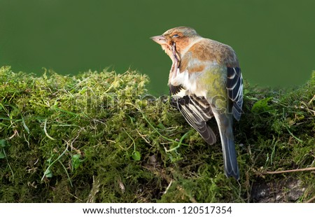 Chaffinch (Fringilla coelebs) has itching and scratching itself - stock photo