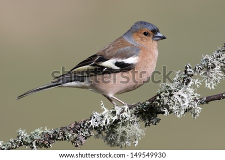 Chaffinch, Fringilla coelebs, male, Scotland, spring              - stock photo