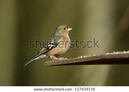 Chaffinch - Fringilla coelebs Male with diseased feet, Fringilla papillomavirus - stock photo