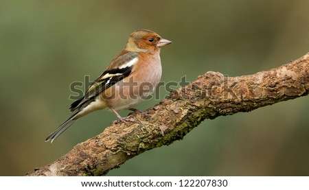 Chaffinch (Fringilla coelebs) sits on a branch - stock photo