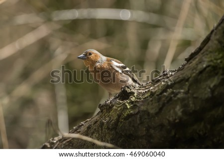 Chaffinch male, perched on a branch in a forest