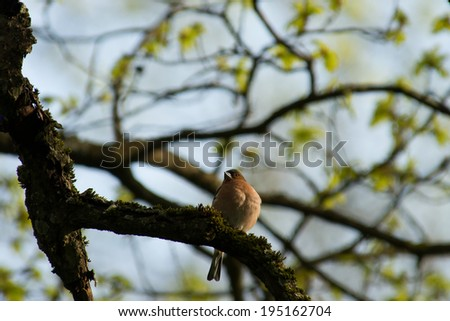 chaffinch on a tree branch - stock photo
