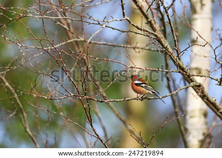 Chaffinch on a tree branch at spring - stock photo