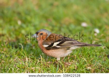 Chaffinch on grass (Fringilla coelebs) - stock photo