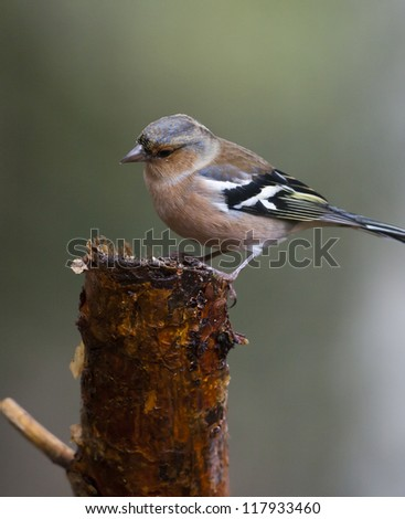 Chaffinch perching on a wooden stump