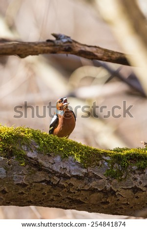 Chaffinch singing from a tree branch in forest - stock photo