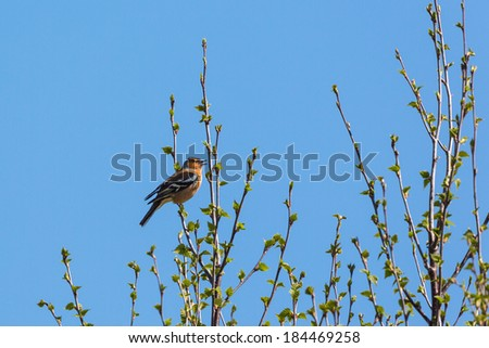 Chaffinch singing from the top of a tree in spring - stock photo
