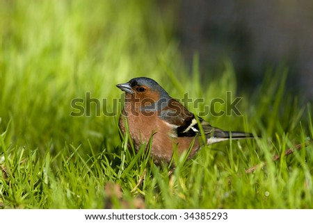Chaffinch sits on the earth in a green grass.