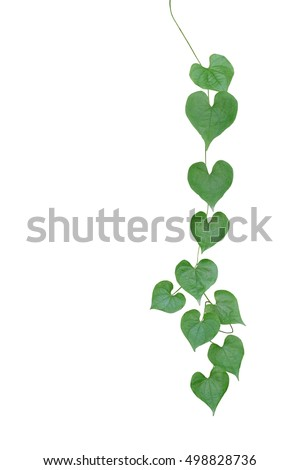 Chain heartshaped green leaf wild vine stock photo image royalty chain of heart shaped green leaf wild vine hanging isolated on white background clipping mightylinksfo