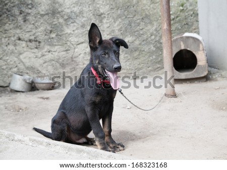 Chained black watchdog puppy with tongue out and wooden house box - stock photo
