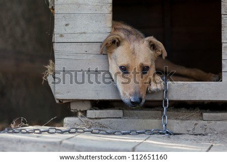 Chained up dog laying in wooden kennel with head out waiting to be released - stock photo