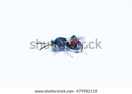 Chalcid wasp on the white background