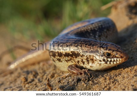 Chalcides ocellatus, ocellated skink also known as eyed skink or gongilo macro at sunrise