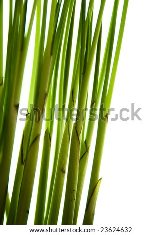 Chamaedorea elegans - Parlor Palm Plant.  Green stems against a white background.