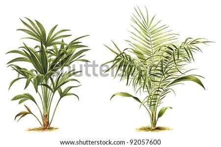 Chamaerops excelsa (left) - Phoenix reclinata - Senegal Date Palm (right) / Vintage illustration from Meyers Konversations-Lexikon 1897 - stock photo